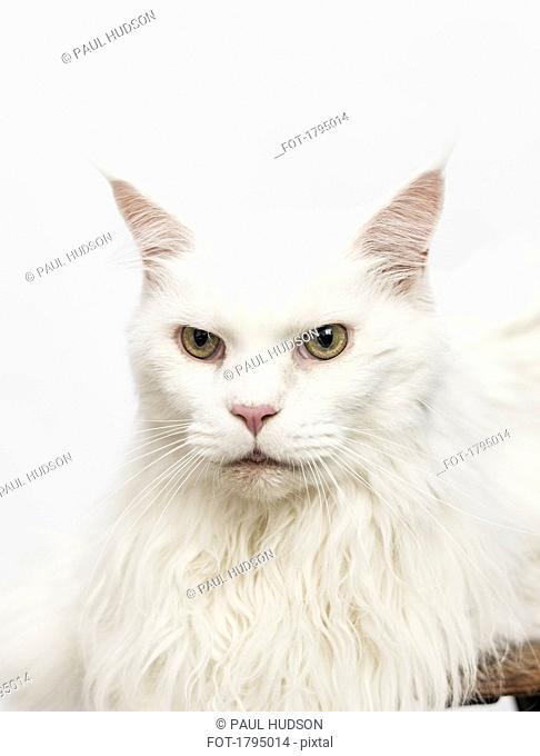 Portrait serious white cat