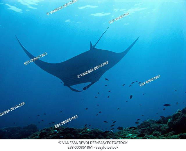 Manta ray at cleaning station in the Andaman sea, Thailand