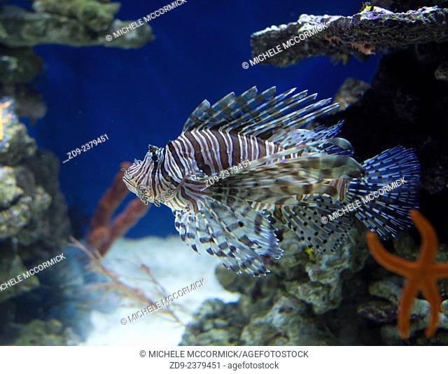The colorful lionfish is venomous
