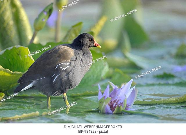 Common Moorhen (Gallinula chloropus) in pond with waterlily (Nymphaea)