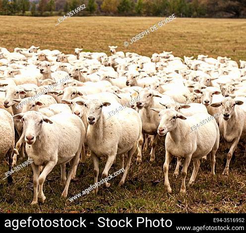 A flock of sheep in a pasture, Katahdin breed