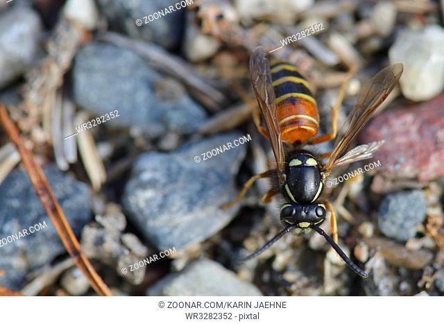 Rote Wespe ( Vespula rufa ) Red wasp in sweden