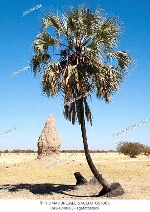 Namibia - Termite hills and Makalani palm trees Hyphaene petersiana are two prominent features of northern Namibia where the Owambo people live  Omusati region