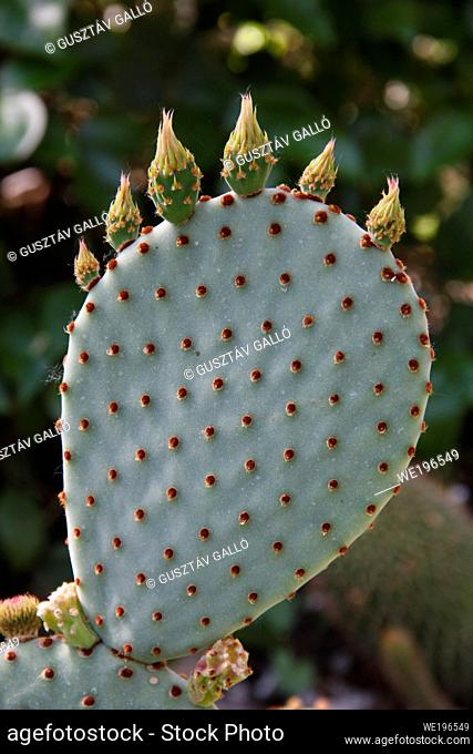 Cactus leaf with flower buds