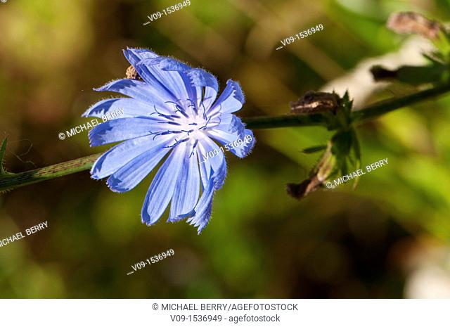 Chicory (Cichorium intybus), Willamette Valley, Oregon, USA