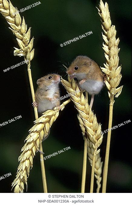 HARVEST MOUSE Micromys minutus two on ears of Wheat