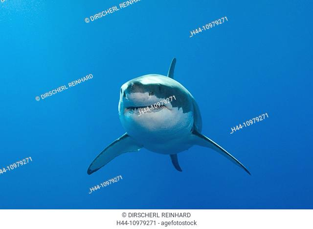 Great White Shark, Carcharodon carcharias, Neptune Islands, Australia