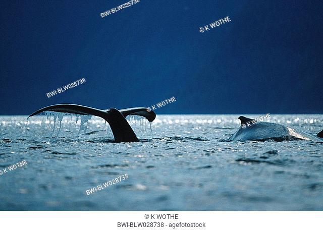 humpback whale Megaptera novaeangliae, fluke