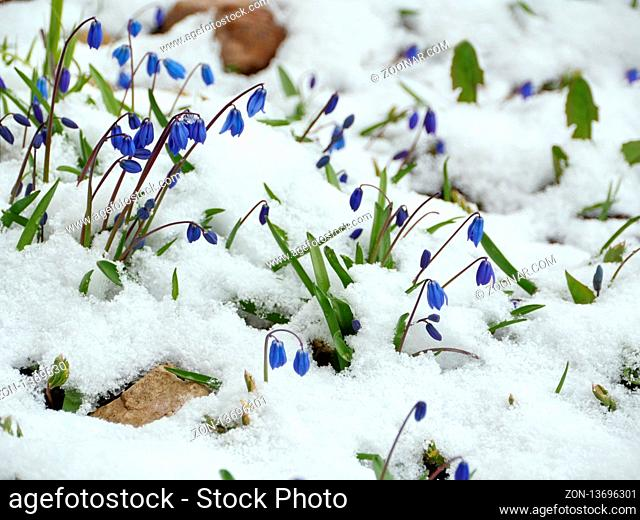 Scilla blue flowers in white snow