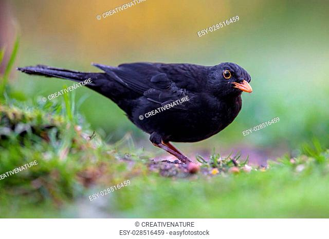 Male common blackbird (Turdus merula) eating from the ground in an ecological garden with green background and looking at the camera