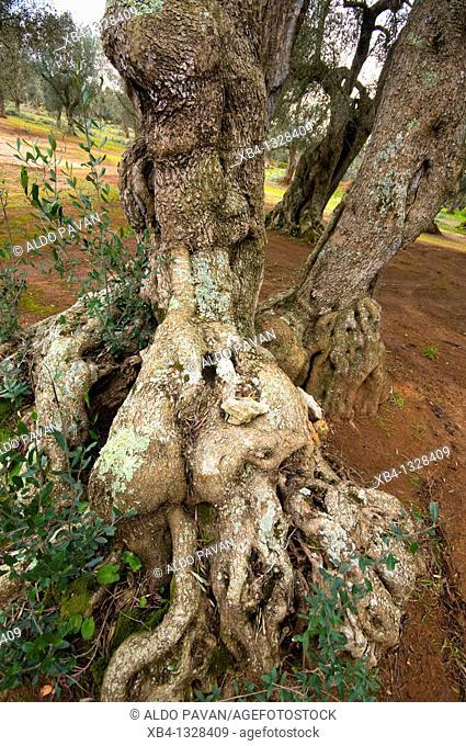 Olive tree, Specchia, Apulia, Italy