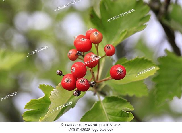 Red berries and green leaves of Crataegus tree in early autumn. .