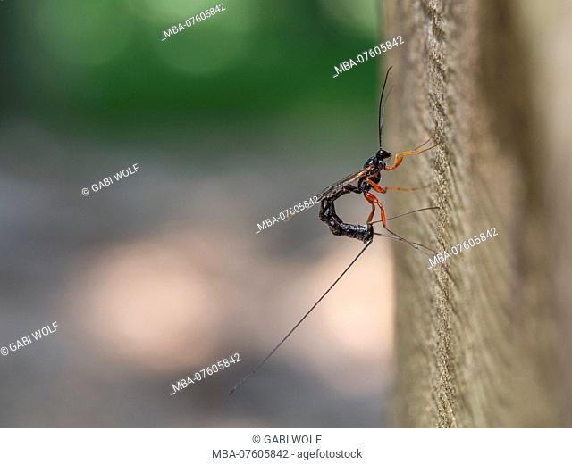 ichneumon flies, Dolichomitus messor, females laying eggs