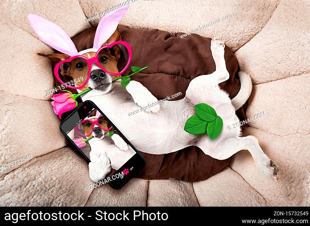 jack russell dog looking and staring at you  with easter bunny ears taking a selfie and a rose in mouth