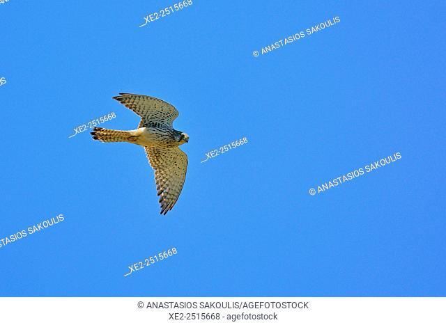 Common Kestrel Falco tinnunculus, Crete