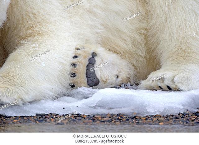 United States, Alaska, Arctic National Wildlife Refuge , Kaktovik, Polar Bear( Ursus maritimus), subadult along a barrier island outside Kaktovik, Alaska