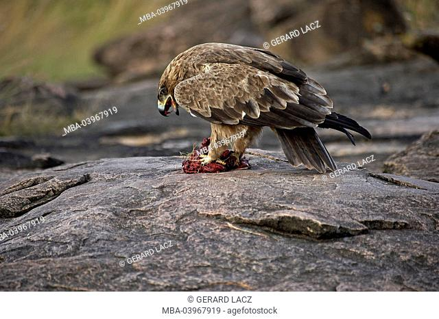 Tawny Eagle, Aquila rapax, Adult with a Piece of Zebra's Meat, Masai Mara Park, Kenya, Africa