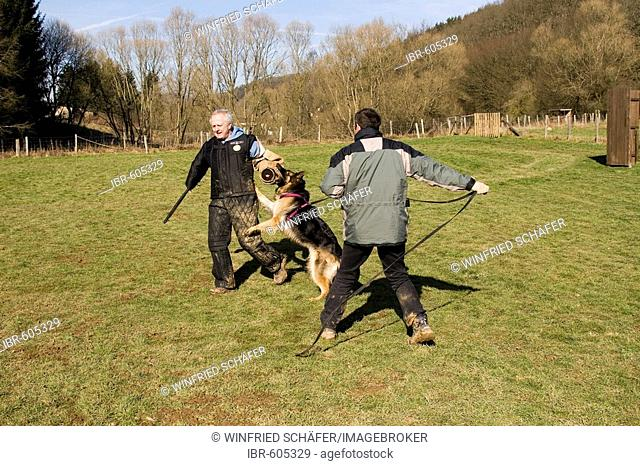 Two men training a German shepherd dog in protective behavior in Daun, Vulkaneifel, Germany, Europe