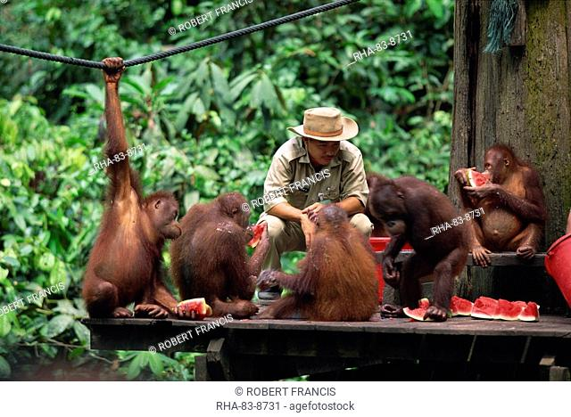 Rehabilitated orang-utans from the forest feed at Sepilok orang-utan sanctuary in the northern tip of Borneo, Sabah, Malaysia, Southeast Asia, Asia