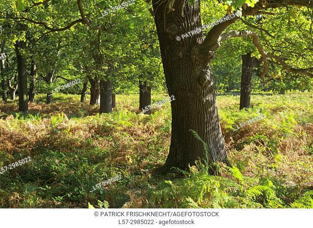 oak trees in Richmond Park, England