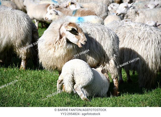 Lamb Nursing With Sheep Waiting to be Sheared, Sheep Farm, Snowdonia, Wales