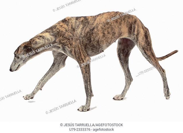 Spanish Greyhound dog portrait