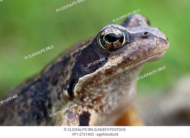 Detail of Common frog called also Alpine frog