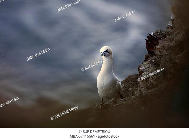 Gannet sea bird commical look with blur and sea