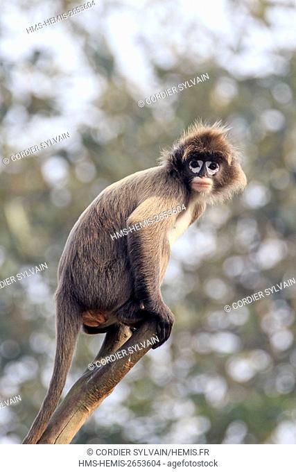 India, Tripura state, Phayre's leaf monkey or Phayre's langur (Trachypithecus phayrei)