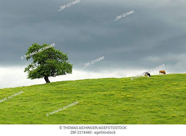 Tree and cows in a stormy day, Upperaustria, Austria
