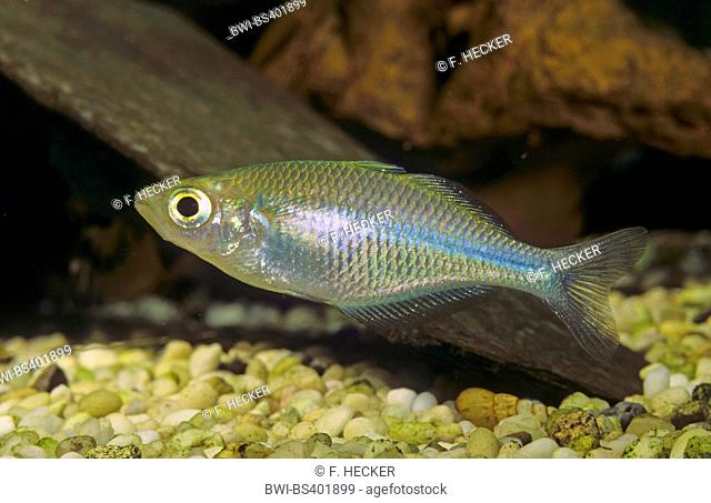 Lake Kutubu rainbowfish (Melanotaenia lacustris), swimming