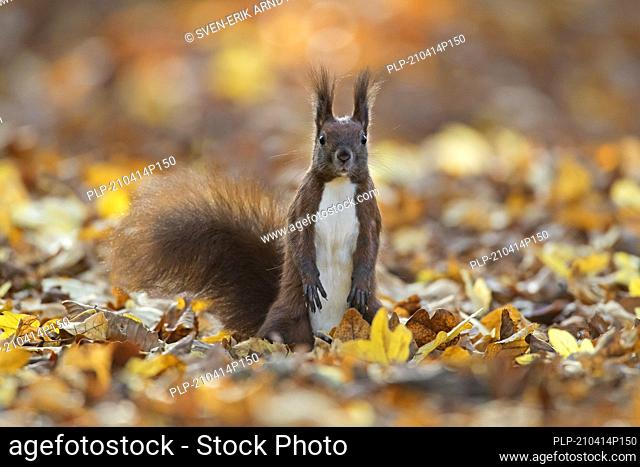 Alert Eurasian red squirrel (Sciurus vulgaris) looking for danger on the ground in leaf litter on the forest floor in autumn woodland