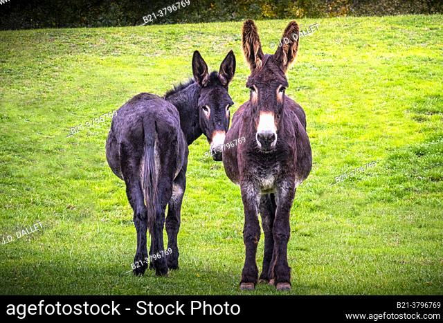 France, Rhonee Alpes Auvergne, Cantal,  donkeys in a meadow at Maurs La Jolie