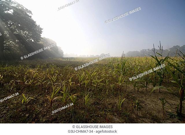 Mist over cornfield, Lamballe, Bretagne, France