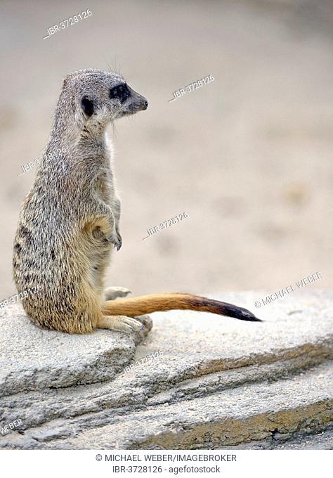 Meerkat or Suricate (Suricata suricatta), native to Africa, captive, Baden-Württemberg, Germany