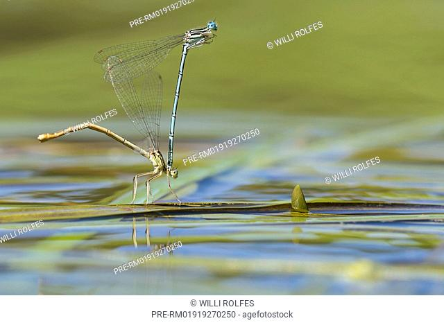 White-legged damselflies, Platycnemis pennipes, Mating / Blaue Federlibellen, Platycnemis pennipes, Paarung