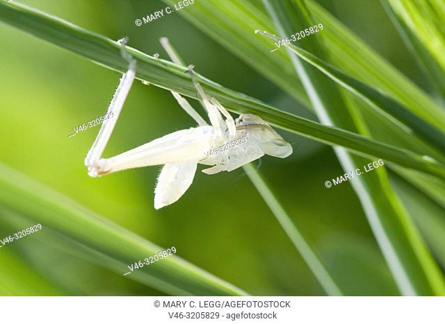 Cricket moult. Cast of a cricket in deep grass