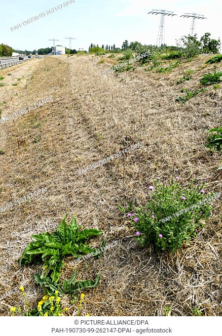 28 July 2019, Saxony-Anhalt, Halle: Only a few plants are still green on the Gimritzer Damm on the Bundesstraße 80, the rest of the plants have dried up