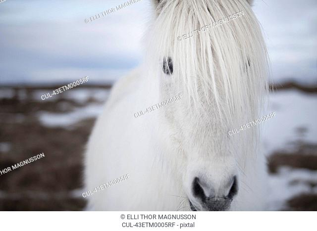 Close up of white horses face