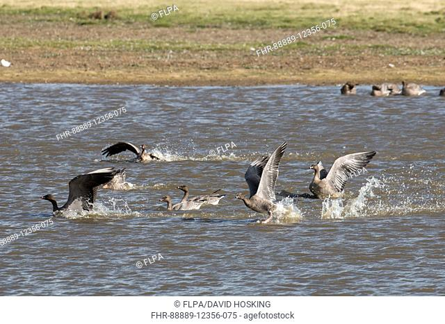 Pink footed Geese on Deepdale Marsh washing in the fresh water