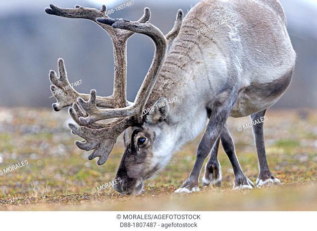 Norway , Spitzbergern , Svalbard , Ny-Alesund , Reindeer Rangifer tarandus  , male ,grazing in the tundra
