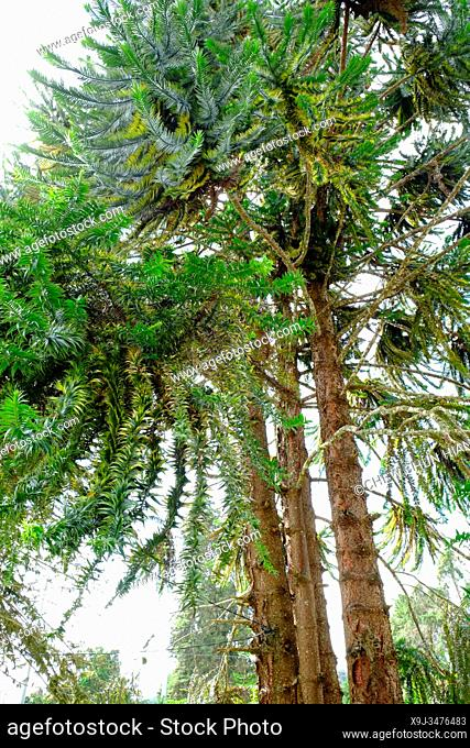 Large Evergreen tree, Araucaria Hunteinii @Araucaria Native, Cameron Heightland, Malaysia