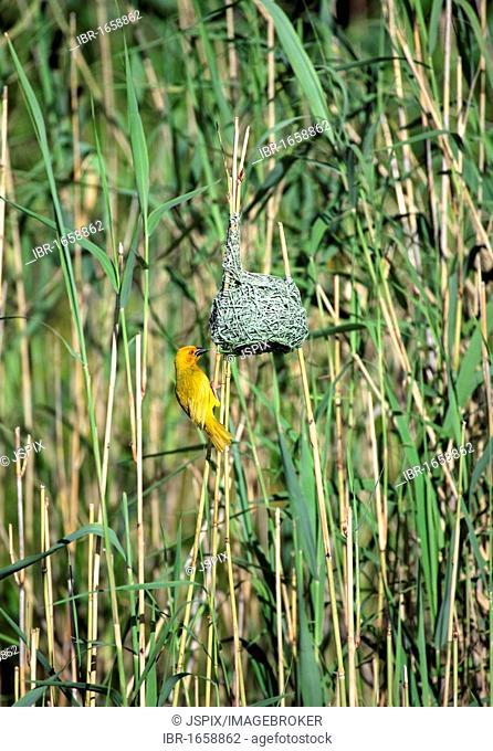 Yellow Weaver (Ploceus subaureus), adult male at nest, St. Lucia Wetland Park, South Africa, Africa