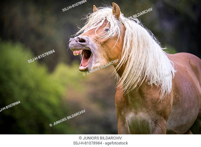 Haflinger Horse. Portrait of juvenile stallion, yawning. South Tyrol, Italy