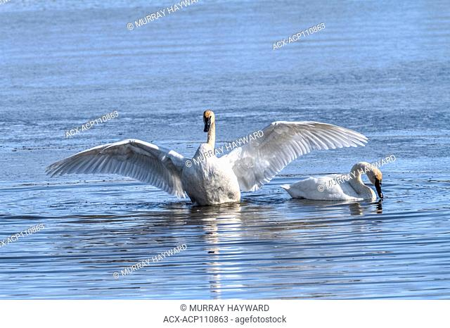 Trumpeter Swan (Cygnus buccinator) Beautiful white Trumpeter Swan, in a blue lake, finished preening and now flapping wings to dry off