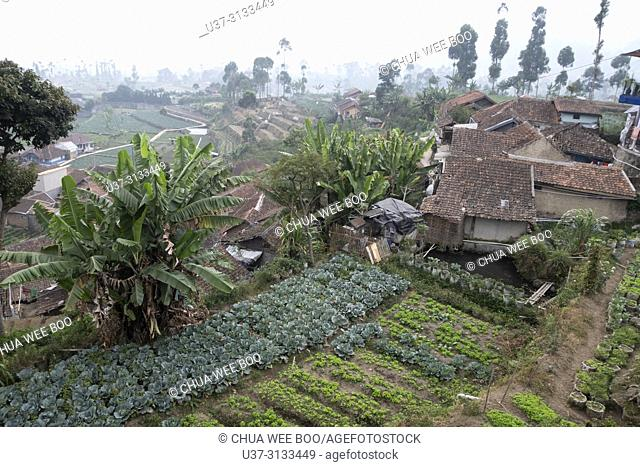 Vegetable farm in Bandung, Java, Indonesia