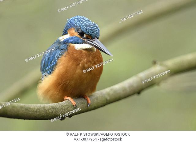 Eurasian Kingfisher ( Alcedo atthis ), male, colourful bird, perched on a branch for hunting, detailed frontal view, wildlife, Europe