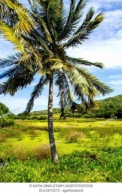 A beautiful palm tree in the middle of the green pasture in Martinique