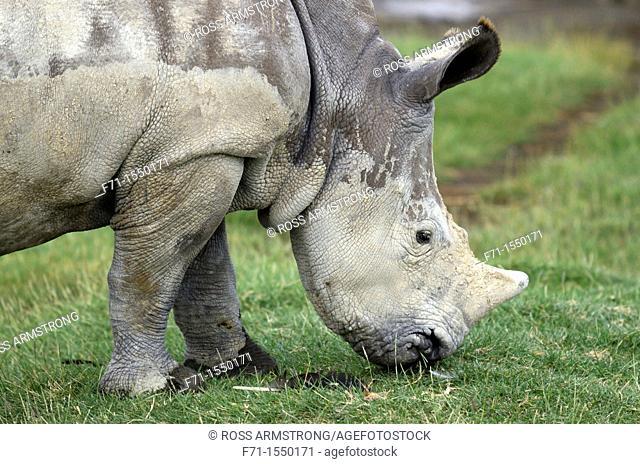 Juvenile White Rhinoceros or Square-lipped rhinoceros Ceratotherium simum feeding Lake Nakuru National Park Kenya Africa