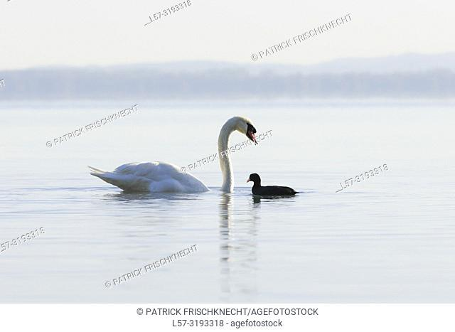 Mute Swan and coot, Switzerland